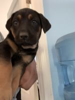 German Shepherd Puppies for sale in Rancho Cucamonga, CA 91730, USA. price: NA