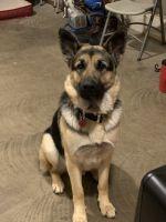 German Shepherd Puppies for sale in Howard City, MI 49329, USA. price: NA