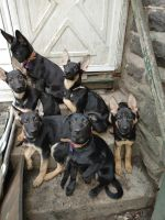 German Shepherd Puppies for sale in Lower Merion Township, PA, USA. price: NA