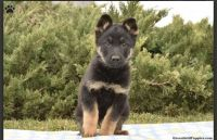 German Shepherd Puppies for sale in Union City, NJ 07087, USA. price: NA