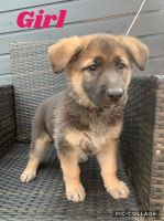 German Shepherd Puppies for sale in San Diego, CA 92103, USA. price: NA