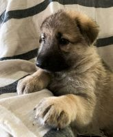 German Shepherd Puppies for sale in Atlanta, GA, USA. price: NA