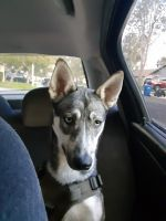 German Shepherd Puppies for sale in Oceanside, CA, USA. price: NA