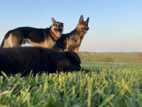German Shepherd Puppies for sale in Mt Sterling, KY 40353, USA. price: NA