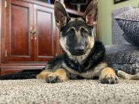 German Shepherd Puppies for sale in Golden, CO, USA. price: NA