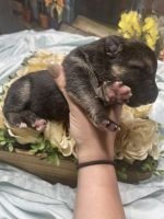 German Shepherd Puppies for sale in Brooksville, FL 34601, USA. price: NA