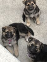 German Shepherd Puppies for sale in Los Angeles, CA 90018, USA. price: NA