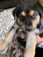 German Shepherd Puppies for sale in Montclair, CA, USA. price: NA