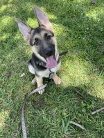 German Shepherd Puppies for sale in Clearwater, FL, USA. price: NA