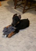 German Shepherd Puppies for sale in Sanbornton, NH 03269, USA. price: NA