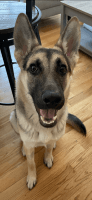 German Shepherd Puppies for sale in Monroe, NY 10950, USA. price: NA
