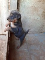 German Shepherd Puppies for sale in Casa Grande, AZ, USA. price: NA