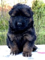 German Shepherd Puppies for sale in Gadsden, AL, USA. price: NA