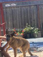 German Shepherd Puppies for sale in 440 Victoria Pl, Vista, CA 92084, USA. price: NA