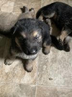 German Shepherd Puppies for sale in Wolverine, MI 49799, USA. price: NA