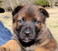 German Shepherd Puppies for sale in Rice Lake, WI, USA. price: NA