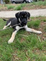 German Shepherd Puppies for sale in Willingboro, NJ 08046, USA. price: NA