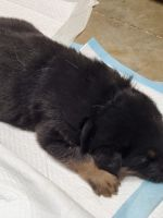 German Shepherd Puppies for sale in Franklin, KY 42134, USA. price: NA