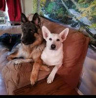German Shepherd Puppies for sale in Peyton, CO 80831, USA. price: NA