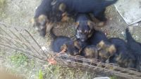 German Shepherd Puppies for sale in Walterboro, SC 29488, USA. price: NA