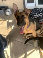 German Shepherd Puppies for sale in El Paso, TX, USA. price: NA