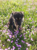 German Shepherd Puppies for sale in Victoria, TX, USA. price: NA