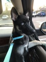 German Shepherd Puppies for sale in Wilmington, Los Angeles, CA, USA. price: NA
