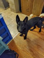 German Shepherd Puppies for sale in Boyd, TX 76023, USA. price: NA