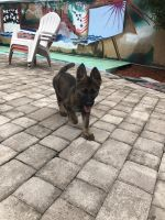 German Shepherd Puppies for sale in Miami Beach, FL, USA. price: NA