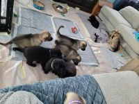 German Shepherd Puppies for sale in Stem, NC 27581, USA. price: NA