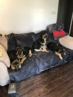 German Shepherd Puppies for sale in Pullman, MI 49450, USA. price: NA