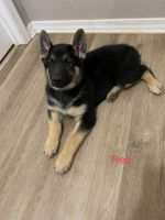 German Shepherd Puppies for sale in Milton, FL 32571, USA. price: NA