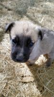 German Shepherd Puppies for sale in Coffee City, TX 75763, USA. price: NA