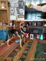 German Shepherd Puppies for sale in Drums, PA 18222, USA. price: NA