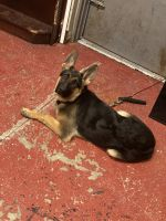 German Shepherd Puppies for sale in Hammond, IN 46321, USA. price: NA