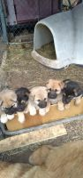 German Shepherd Puppies for sale in Rist Canyon Rd, Bellvue, CO, USA. price: NA