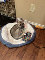 German Shepherd Puppies for sale in 3233 Windchase Blvd, Houston, TX 77082, USA. price: NA