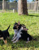 German Shepherd Puppies for sale in Sugar Land, TX, USA. price: NA