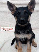German Shepherd Puppies for sale in Fallbrook, CA 92028, USA. price: NA