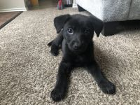 German Shepherd Puppies for sale in 10235 Revelstoke Dr, Houston, TX 77086, USA. price: NA