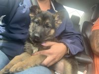 German Shepherd Puppies for sale in North Olmsted, OH, USA. price: NA