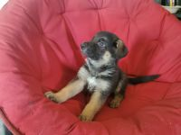 German Shepherd Puppies for sale in Caldwell, ID, USA. price: NA