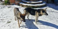 German Shepherd Puppies for sale in Cleveland, TX 77327, USA. price: NA
