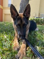 German Shepherd Puppies for sale in Alafaya, FL 32828, USA. price: NA