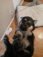German Shepherd Puppies for sale in San Bernardino, CA, USA. price: NA