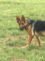 German Shepherd Puppies for sale in Manassas, VA, USA. price: NA