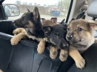German Shepherd Puppies for sale in Piketon, OH 45661, USA. price: NA