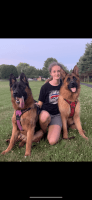 German Shepherd Puppies for sale in Machesney Park, IL, USA. price: NA