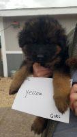 German Shepherd Puppies for sale in Peyton, CO 80831, USA. price: NA