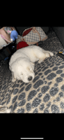 German Shepherd Puppies for sale in Chicago, IL, USA. price: NA